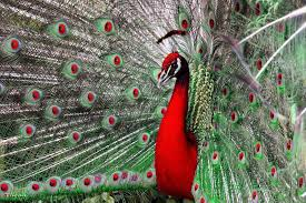 peacock free hd top most downloaded wallpapers page 2