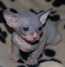 scary blue eyes sphynx cat face golfian com