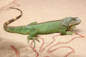 imágenes de iguanas verdes iguana verde e iguana negra hogarmania