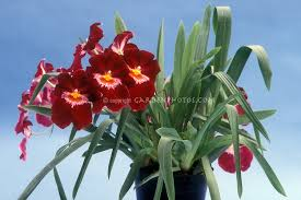 Red Orchids Orchid Stock Photos Species U0026 Hybrids Images Plant U0026 Flower