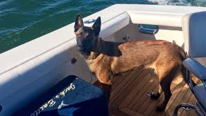 belgian sheepdog illinois missing dog reunited with family after tumbling overboard during