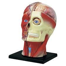 Human Anatomy Skull Bones Anatomy Organ Pictures Human Anatomy Models Latest Collection