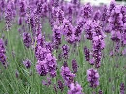 lavender flower gardening