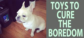best french bulldog toys the best frenchie gear
