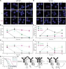 b cell activation involves nanoscale receptor reorganizations and