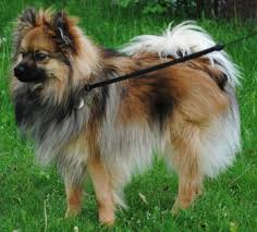 types of american eskimo dogs what is a throwback pomeranian