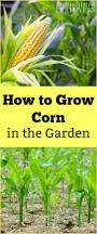 What To Plant In Your Vegetable Garden by Want To Learn How To Grow Corn In Your Vegetable Garden Use These