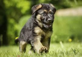 cost of a belgian sheepdog german shepherd dog puppies for sale akc puppyfinder