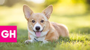 Queen S Dog 80 Years Of The Queen U0027s Royal Corgis Gh Youtube