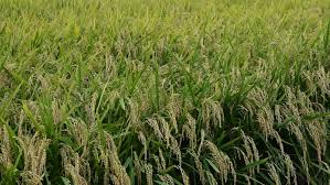 Plants Diseases And Treatment - treatment of cereals against pests insects and plant diseases