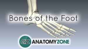 Skeletal Picture Of Foot Bones Of The Foot Anatomy Tutorial Youtube