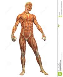 Human Anatomy Quizes Human Muscle Anatomy Quiz Periodic Tables
