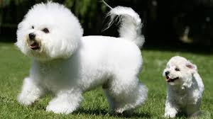 bichon frise good and bad 15 dog breeds that don u0027t smell barking royalty