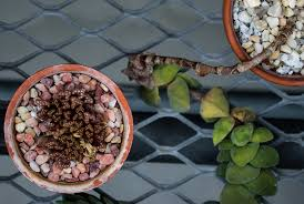 no water no problem gc tips on caring for succulents garden
