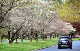 where to find lancaster s prettiest blooming trees and your