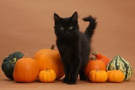black and orange halloween background black maine coon kitten and pumpkins photo wp37267