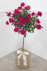 Bougainvillea Topiary - blooming baby red rose tree topiary seeds of life