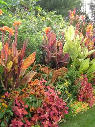 canna lilies wow plants for your summer garden tropicanna canna lilies