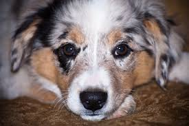 sheltie x australian shepherd rhr miniature and toy australian shepherds