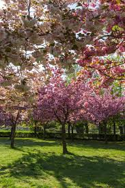 trees with pink flowers types of flowering cherry trees