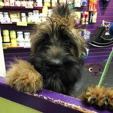 affenpinscher swimming 100 puppy pictures that will make your day u2013 cute puppies now