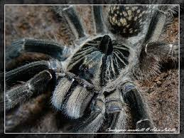 tarantula ceratogyrus marshalli care sheet war bringer s