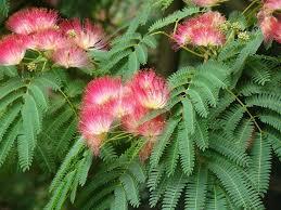 albizia silk trees information on how to grow a silk tree
