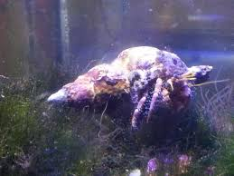 which hermit crab is this is it carnivore or omnivore or