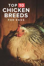 10 best egg laying chicken breeds up to 300 per year