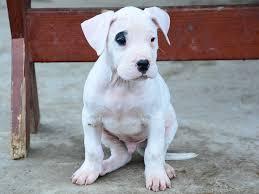 belgian sheepdog for sale in michigan maradona dogo argentino puppy for sale euro puppy