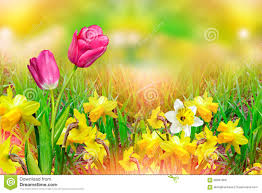 beautiful spring flowers daffodils yellow flowers stock photo