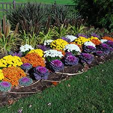 Picture Of Mums The Flowers - fall flowers annuals for the south garden club