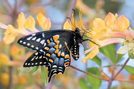 native brazilian plants host and nectar plants alabama butterfly atlas