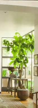 54 best indoor trees images on gardens house plants