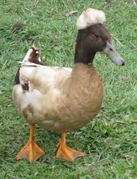 crested khaki campbell a hybrid duck with a crest that looks