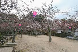 cherry blossom reports 2016 miyajima approaching bloom