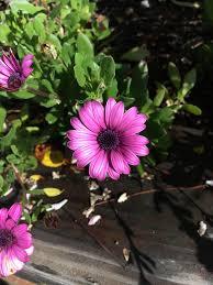 free photo purple daisy flowers garden free image on pixabay