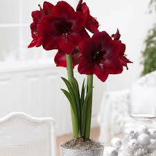 Amaryllis Flowers Brighten The Indoors With Colorful Amaryllis Blooms India