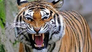 hd bengal tiger background pixelstalk net