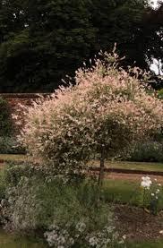 salix integra hakuro nishiki v flamingo willow rhs gardening