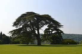 splendid cedar tree picture of highclere castle newbury
