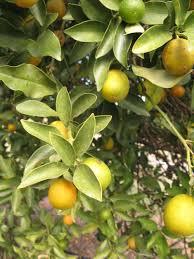 citrus id fact sheet meiwa