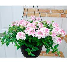 verbena flower verbena white 6 verbena plants flower plants flower
