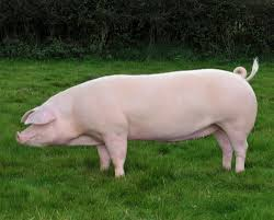 top 9 native british pig breeds and how to recognise them