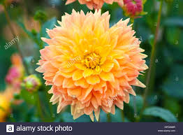 yellow flowers dahlia orange and yellow flowers bloom closeup stock photo