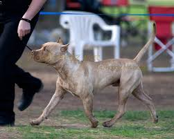 america pit bull terrier club dogbreedz photo keywords american pit bull terrier