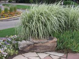 japanese silver grass variegated miscanthus thetreefarm