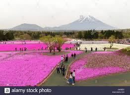 garden and flower show mt fuji and flower show fuji shiba sakura festival japan stock