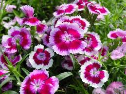 sweet william flowers 77 best phlox and sweet william flowers images on