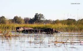 si e social hippopotamus adventures in okavango s delta botswana